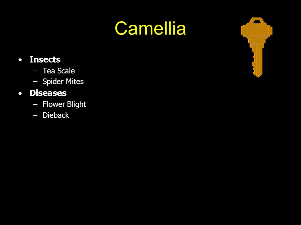 Camellia Insects –Tea Scale –Spider Mites Diseases –Flower Blight –Dieback
