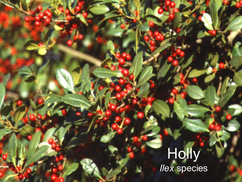 Holly Ilex species