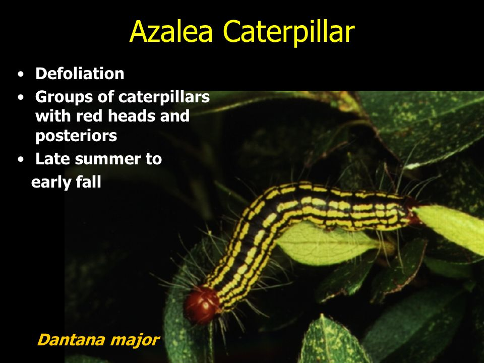 Azalea Caterpillar Defoliation Groups of caterpillars with red heads and posteriors Late summer to early fall Dantana major