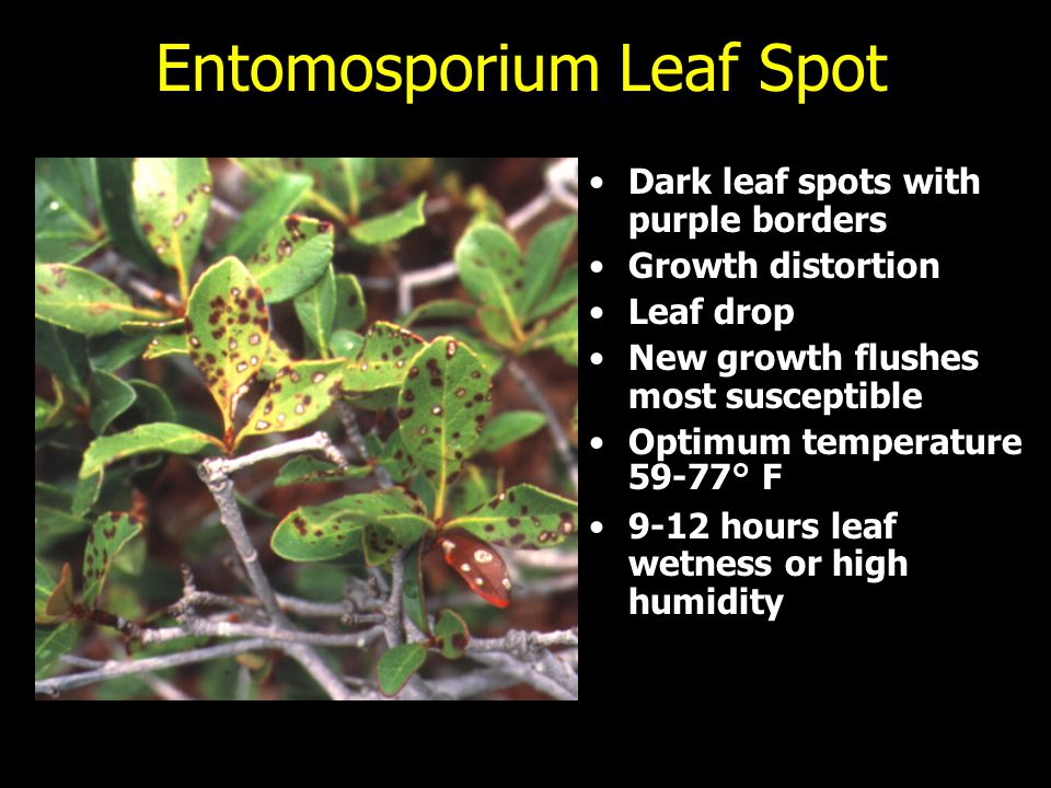 Entomosporium Leaf Spot Dark leaf spots with purple borders Growth distortion Leaf drop New growth flushes most susceptible Optimum temperature 59-77°