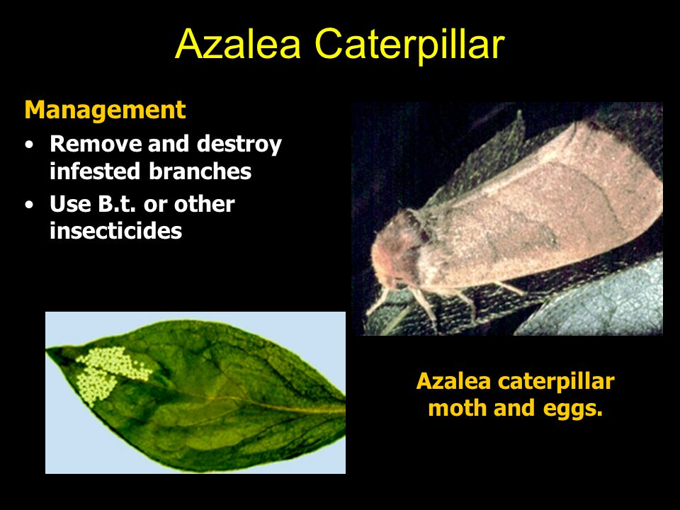 Azalea Caterpillar Management Remove and destroy infested branches Use B.t. or other insecticides Azalea caterpillar moth and eggs.