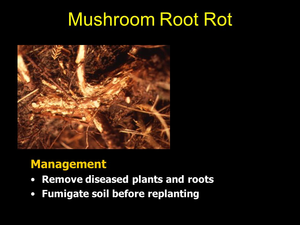 Mushroom Root Rot Management Remove diseased plants and roots Fumigate soil before replanting