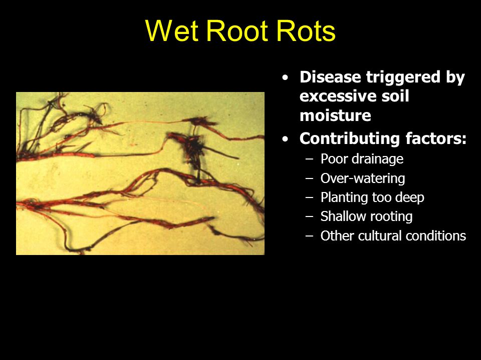 Wet Root Rots Disease triggered by excessive soil moisture Contributing factors: –Poor drainage –Over-watering –Planting too deep –Shallow rooting –Ot