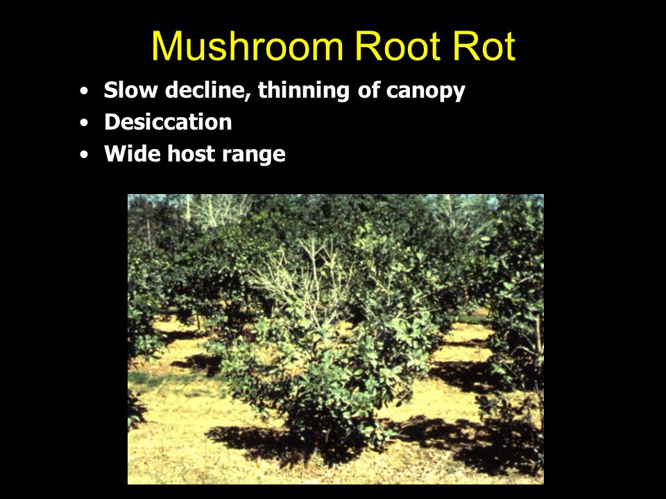 Mushroom Root Rot Slow decline, thinning of canopy Desiccation Wide host range