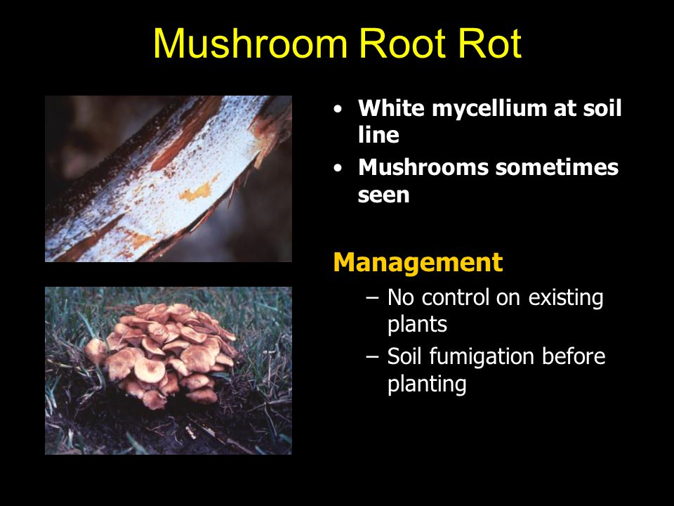 Mushroom Root Rot White mycellium at soil line Mushrooms sometimes seen Management –No control on existing plants –Soil fumigation before planting