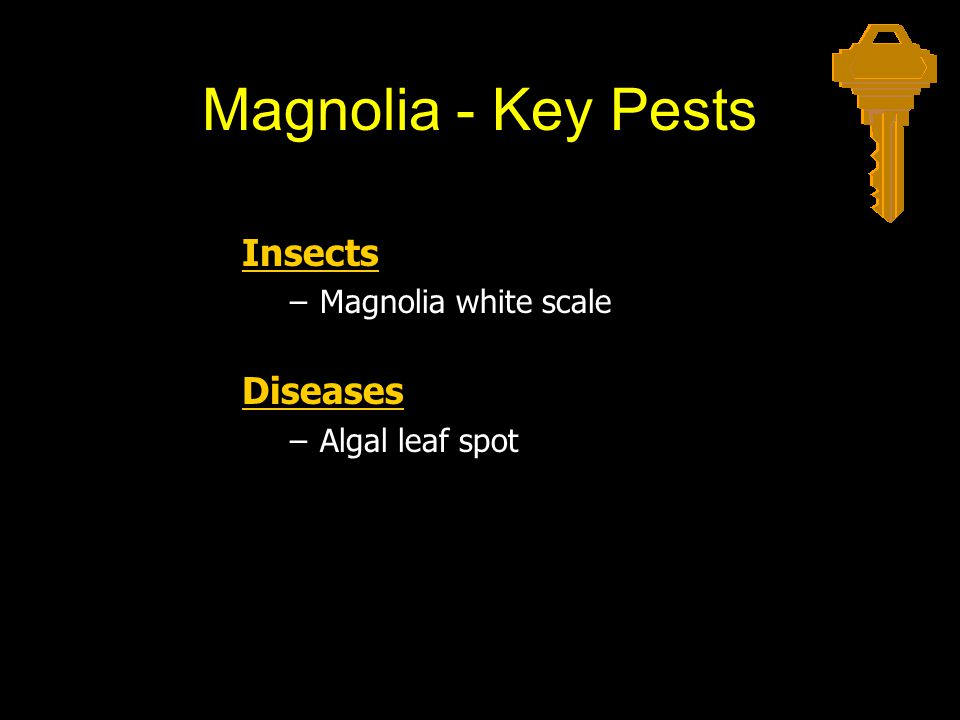 Magnolia - Key Pests Insects –Magnolia white scale Diseases –Algal leaf spot