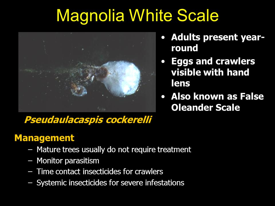 Magnolia White Scale Adults present year- round Eggs and crawlers visible with hand lens Also known as False Oleander Scale Management –Mature trees u