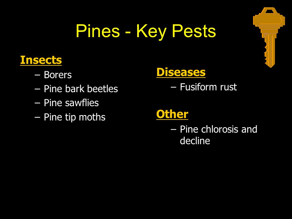 Pines - Key Pests Insects –Borers –Pine bark beetles –Pine sawflies –Pine tip moths Diseases –Fusiform rust Other –Pine chlorosis and decline