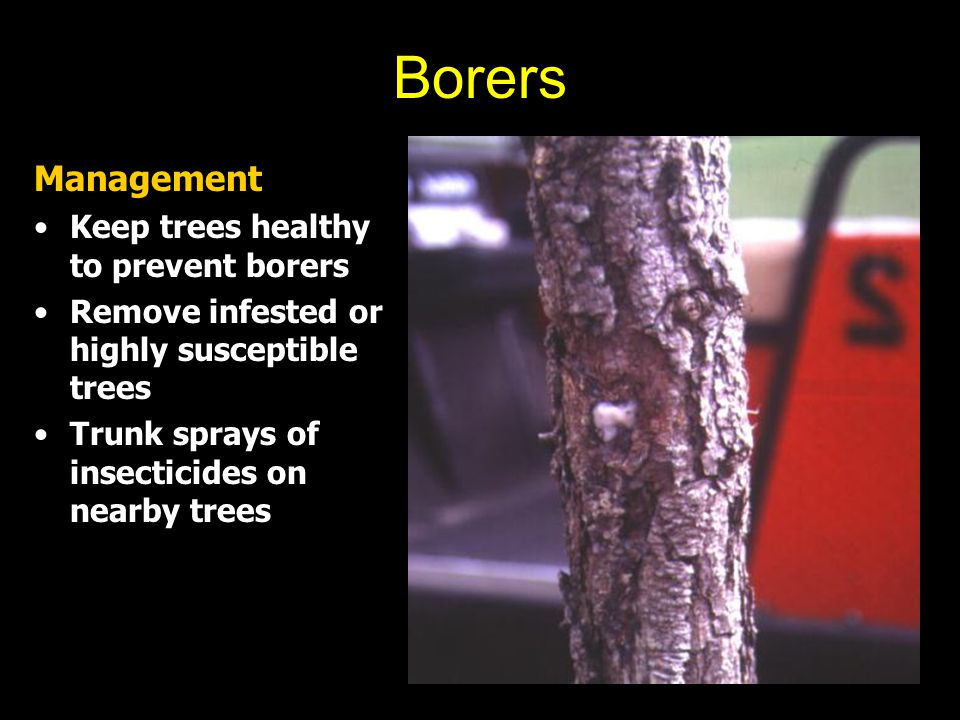 Borers Management Keep trees healthy to prevent borers Remove infested or highly susceptible trees Trunk sprays of insecticides on nearby trees