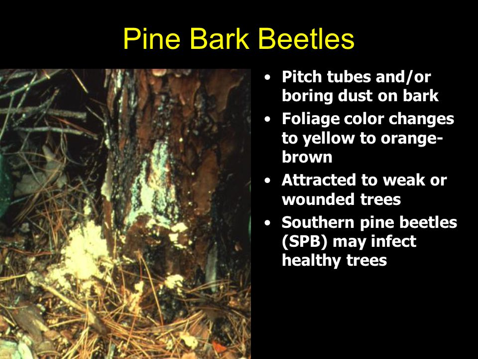 Pine Bark Beetles Pitch tubes and/or boring dust on bark Foliage color changes to yellow to orange- brown Attracted to weak or wounded trees Southern