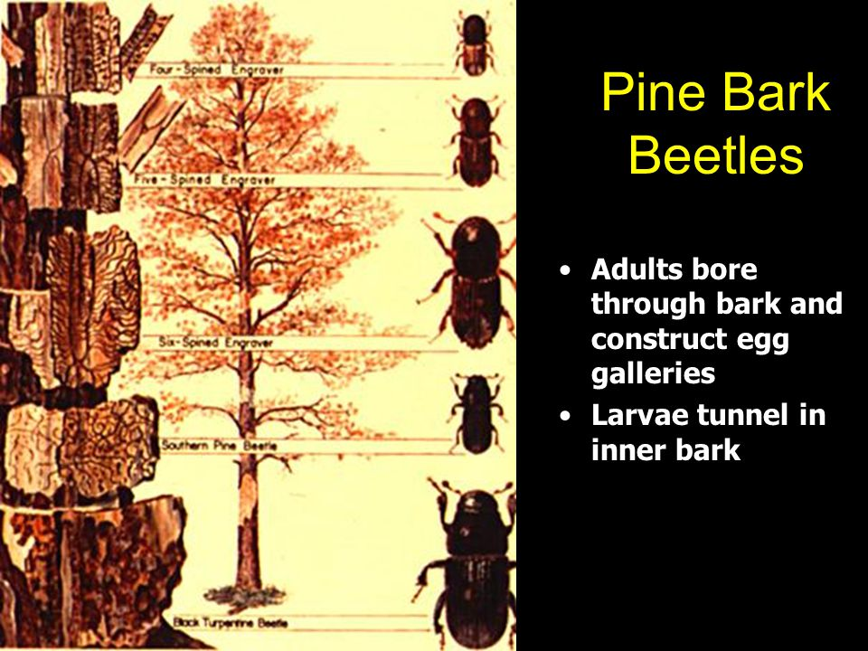 Pine Bark Beetles Adults bore through bark and construct egg galleries Larvae tunnel in inner bark