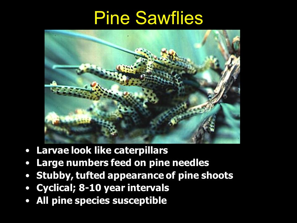 Pine Sawflies Larvae look like caterpillars Large numbers feed on pine needles Stubby, tufted appearance of pine shoots Cyclical; 8-10 year intervals