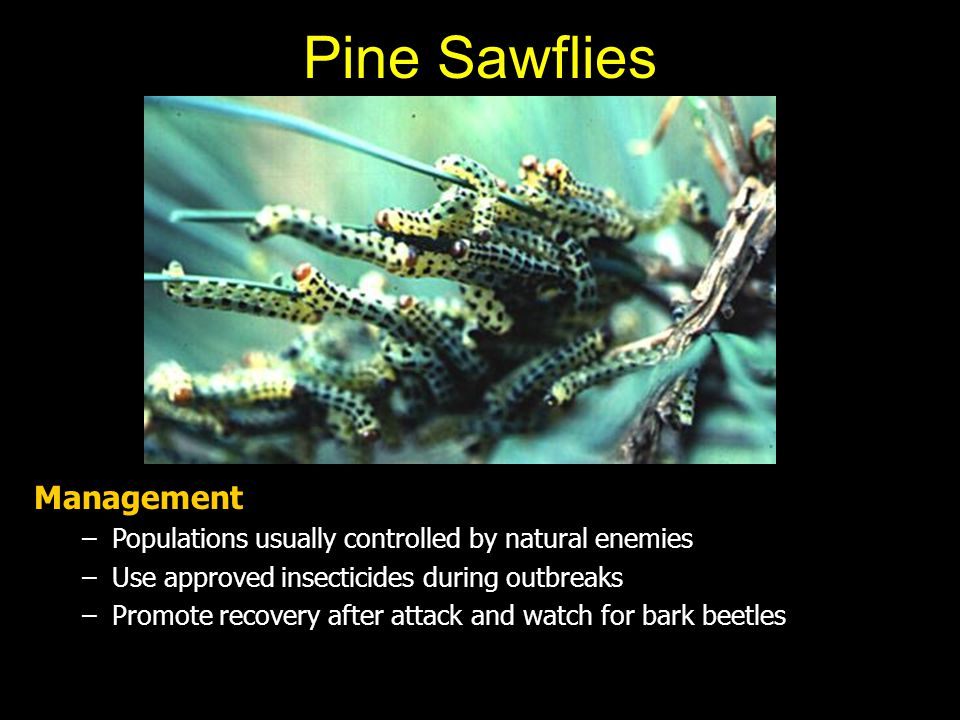 Pine Sawflies Management –Populations usually controlled by natural enemies –Use approved insecticides during outbreaks –Promote recovery after attack