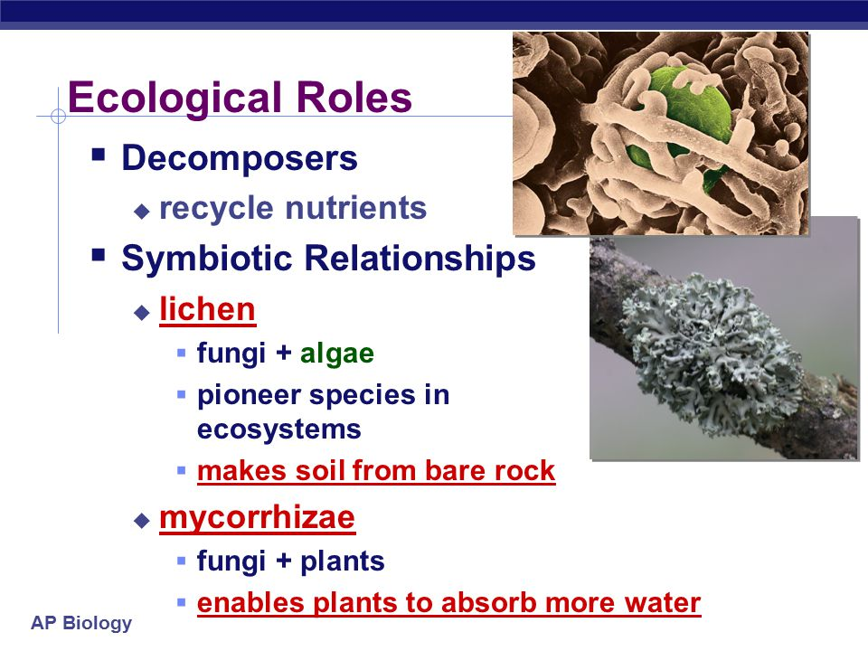 AP Biology Ecological Roles  Decomposers  recycle nutrients  Symbiotic Relationships  lichen  fungi + algae  pioneer species in ecosystems  makes soil from bare rock  mycorrhizae  fungi + plants  enables plants to absorb more water