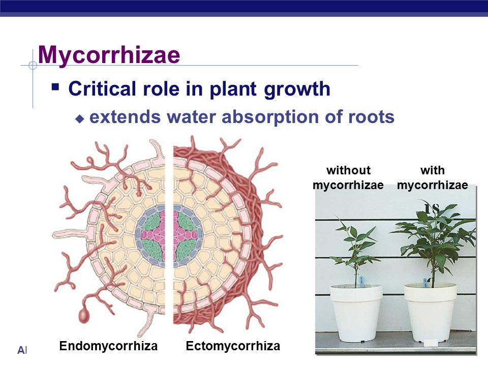 AP Biology Mycorrhizae  Critical role in plant growth  extends water absorption of roots without mycorrhizae with mycorrhizae EctomycorrhizaEndomycorrhiza