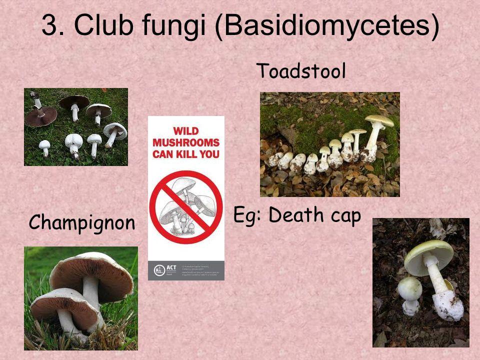 3. Club fungi (Basidiomycetes) Toadstool Eg: Death cap Champignon