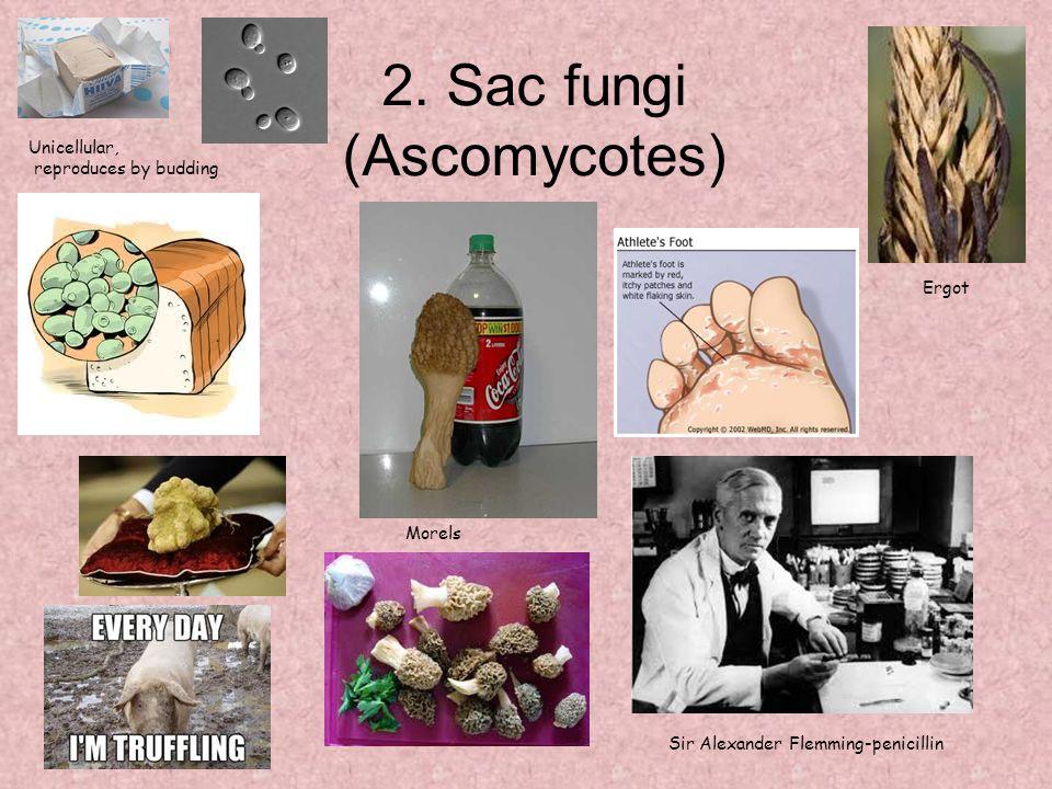 2. Sac fungi (Ascomycotes) Unicellular, reproduces by budding Sir Alexander Flemming-penicillin Ergot Morels