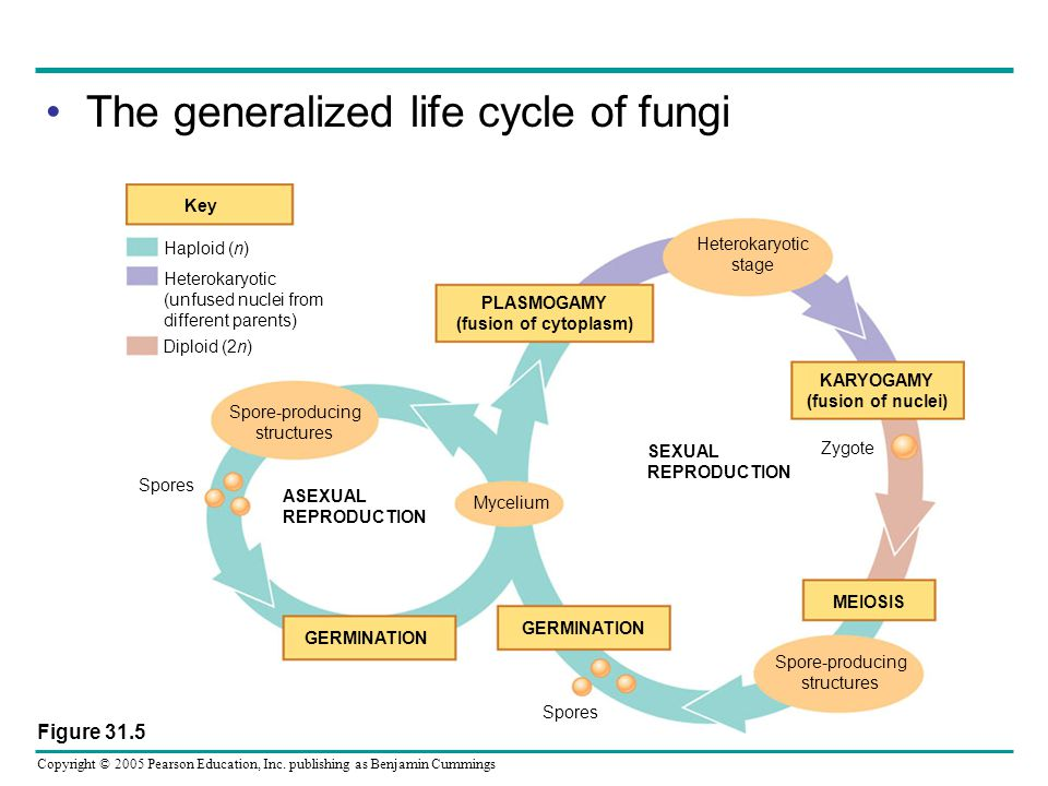 Copyright © 2005 Pearson Education, Inc. publishing as Benjamin Cummings The generalized life cycle of fungi Key Haploid (n) Heterokaryotic (unfused n
