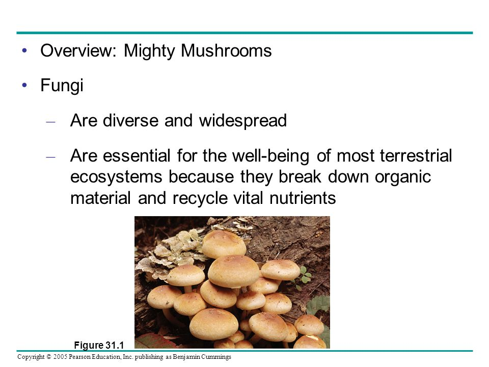 Copyright © 2005 Pearson Education, Inc. publishing as Benjamin Cummings Overview: Mighty Mushrooms Fungi – Are diverse and widespread – Are essential