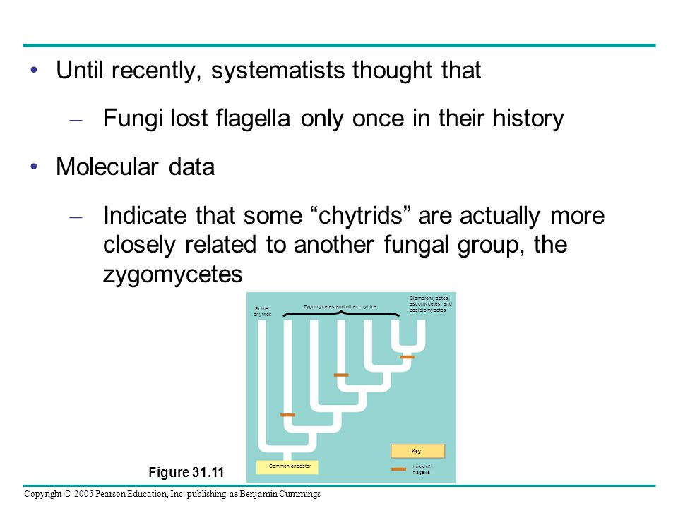 Copyright © 2005 Pearson Education, Inc. publishing as Benjamin Cummings Until recently, systematists thought that – Fungi lost flagella only once in