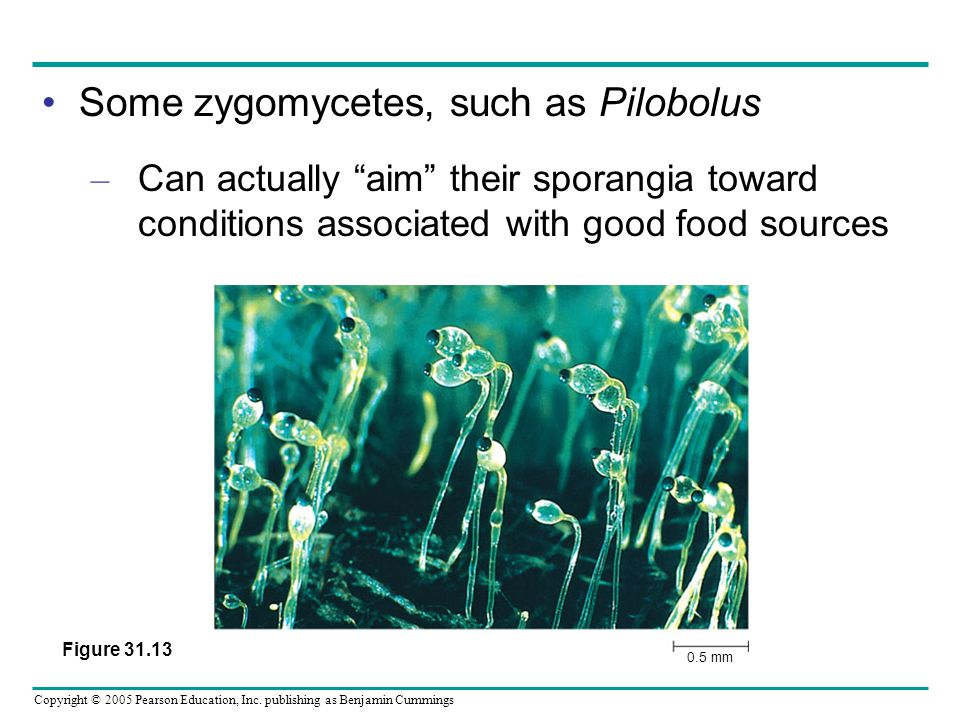 "Copyright © 2005 Pearson Education, Inc. publishing as Benjamin Cummings Some zygomycetes, such as Pilobolus – Can actually ""aim"" their sporangia towa"