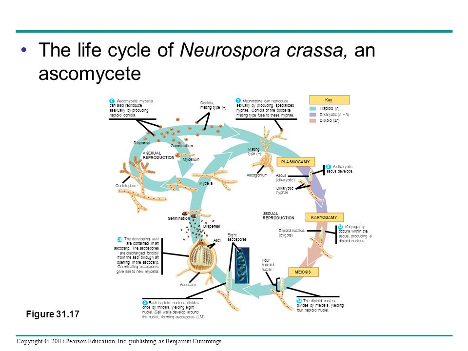 Copyright © 2005 Pearson Education, Inc. publishing as Benjamin Cummings The life cycle of Neurospora crassa, an ascomycete Dispersal ASEXUAL REPRODUC