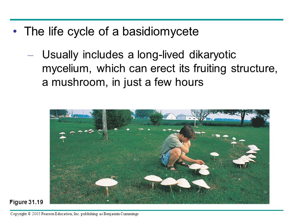 Copyright © 2005 Pearson Education, Inc. publishing as Benjamin Cummings The life cycle of a basidiomycete – Usually includes a long-lived dikaryotic