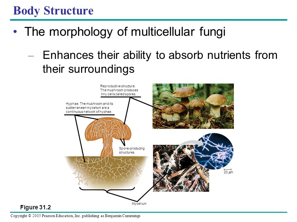 Copyright © 2005 Pearson Education, Inc. publishing as Benjamin Cummings Body Structure The morphology of multicellular fungi – Enhances their ability
