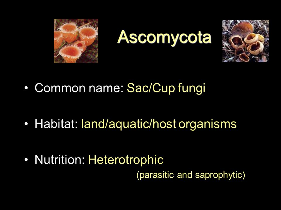 Ascomycota Phylum Ascomycota Common name: Sac/Cup fungi Habitat: land/aquatic/host organisms Nutrition: Heterotrophic (parasitic and saprophytic)