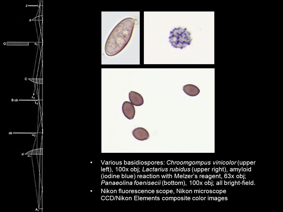 Various basidiospores: Chroomgompus vinicolor (upper left), 100x obj; Lactarius rubidus (upper right), amyloid (iodine blue) reaction with Melzer's re