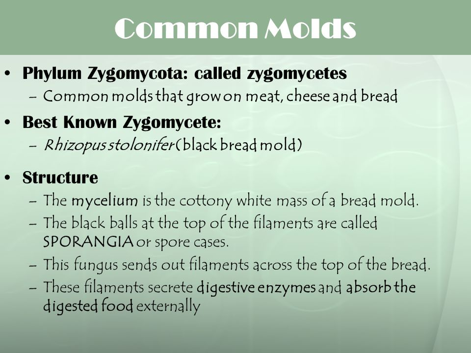 Common Molds Phylum Zygomycota: called zygomycetes –Common molds that grow on meat, cheese and bread Best Known Zygomycete: –Rhizopus stolonifer (blac
