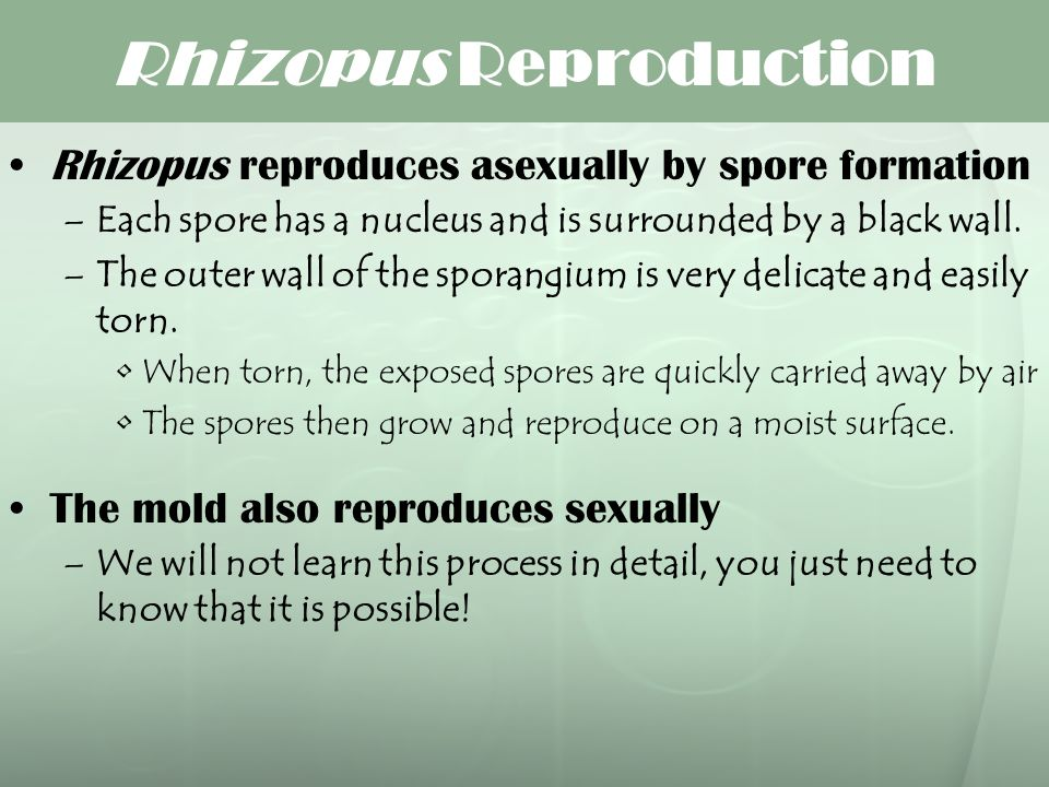 Rhizopus Reproduction Rhizopus reproduces asexually by spore formation –Each spore has a nucleus and is surrounded by a black wall. –The outer wall of