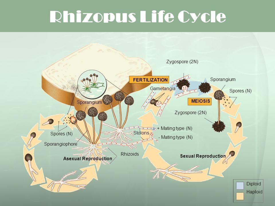 Rhizopus Life Cycle FERTILIZATION Diploid Haploid MEIOSIS Sexual Reproduction Asexual Reproduction Zygospore (2N) Spores (N) Sporangium Zygospore (2N)