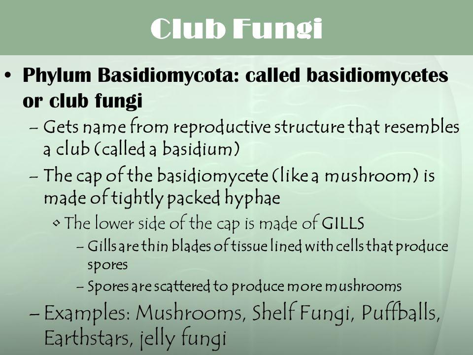 Club Fungi Phylum Basidiomycota: called basidiomycetes or club fungi –Gets name from reproductive structure that resembles a club (called a basidium)