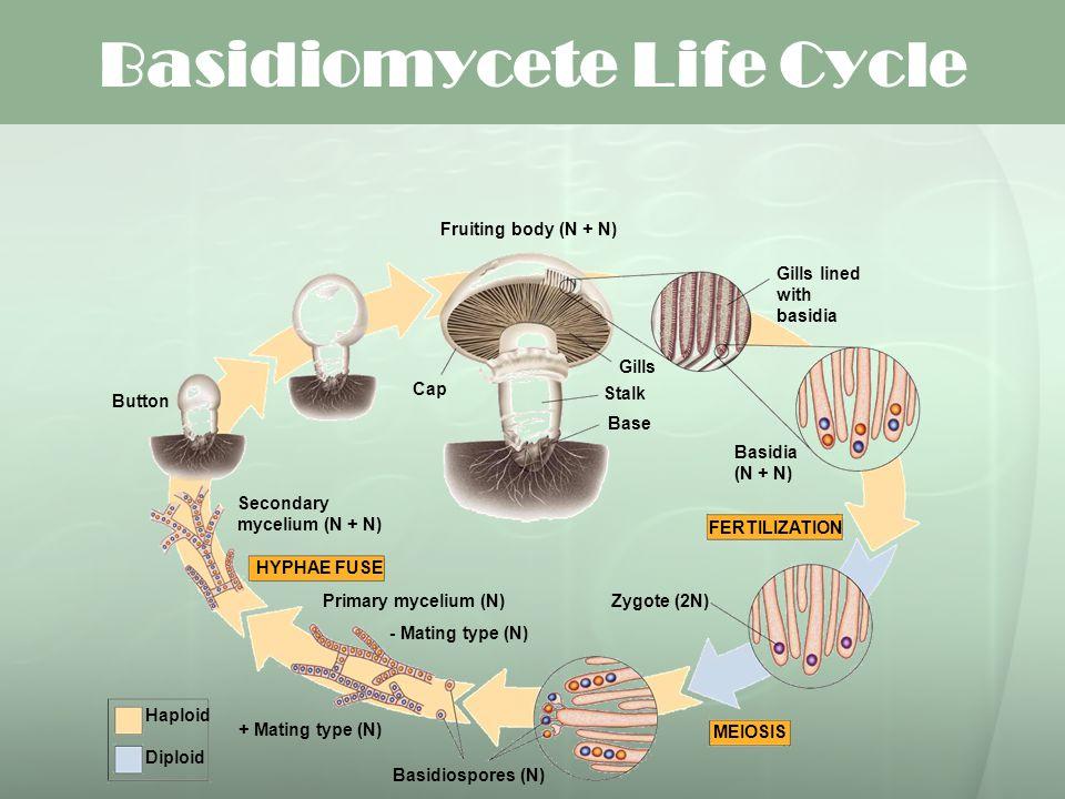 Basidiomycete Life Cycle FERTILIZATION MEIOSIS HYPHAE FUSE Fruiting body (N + N) Button Secondary mycelium (N + N) Primary mycelium (N) + Mating type