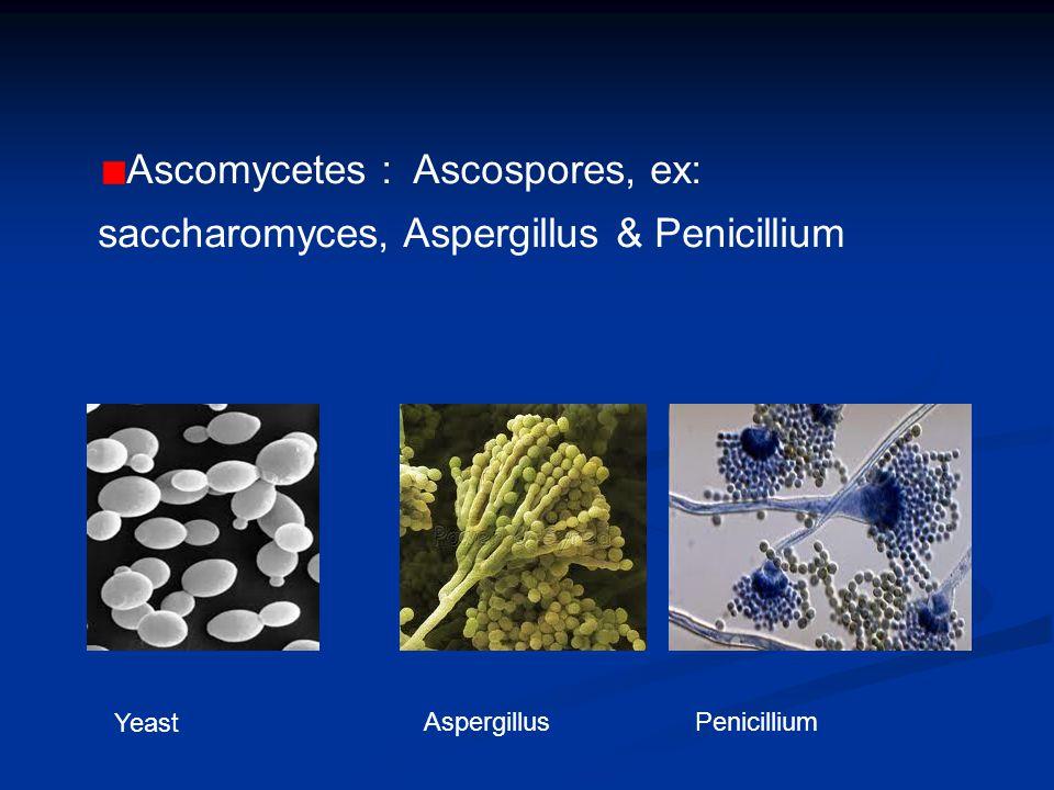 Zygospores