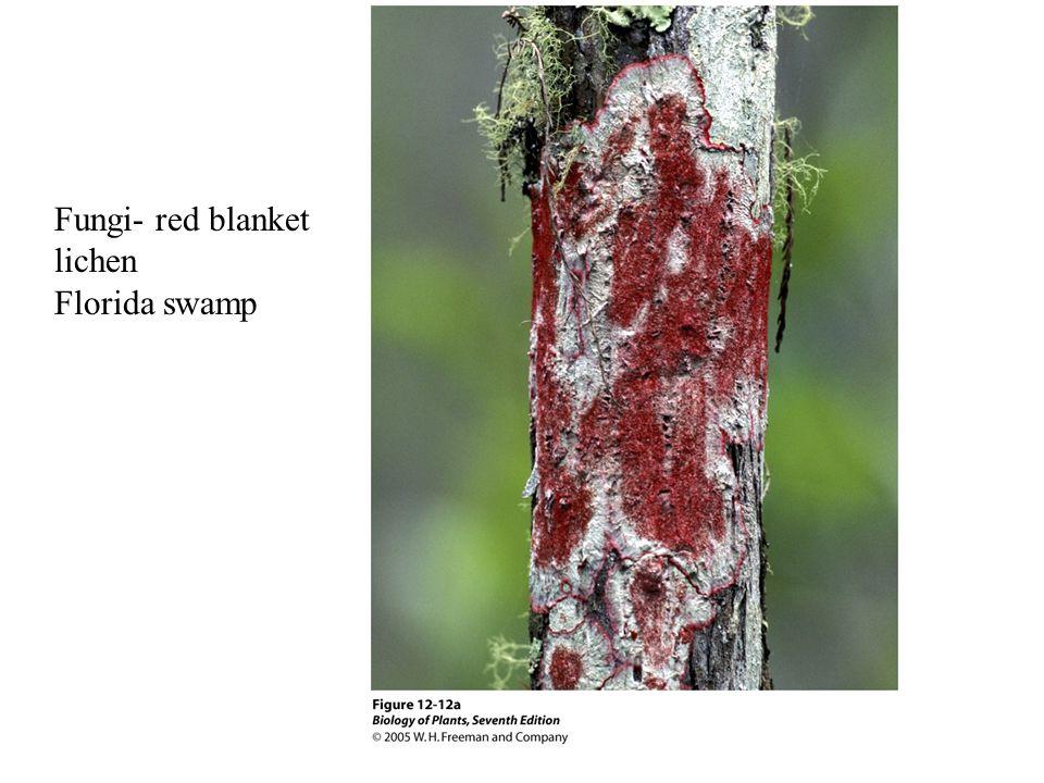 Fungi- red blanket lichen Florida swamp