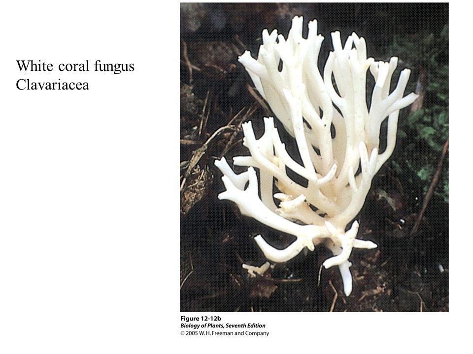 White coral fungus Clavariacea
