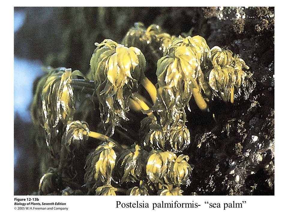 Postelsia palmiformis- sea palm