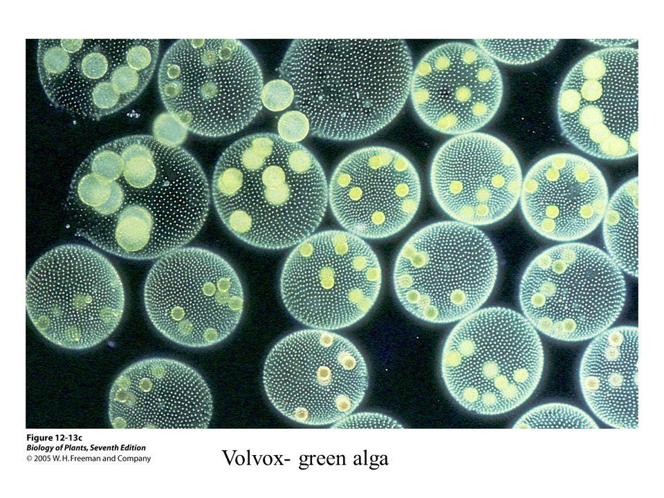 Volvox- green alga