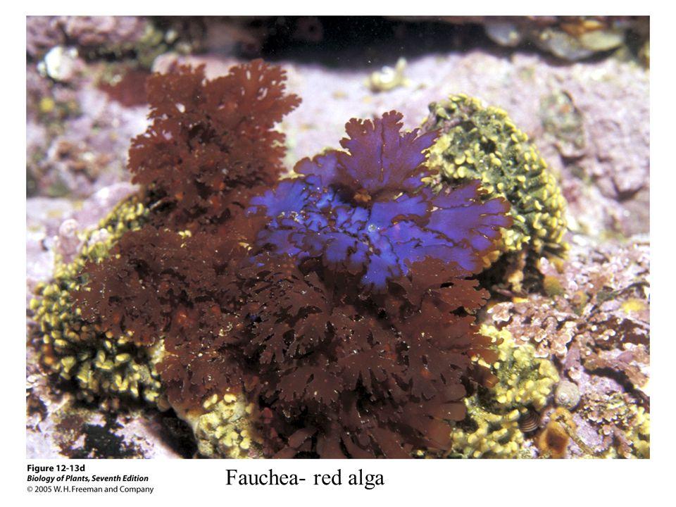 Fauchea- red alga