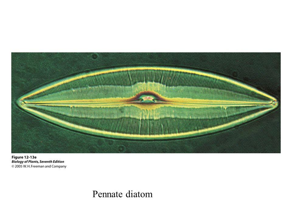 Pennate diatom