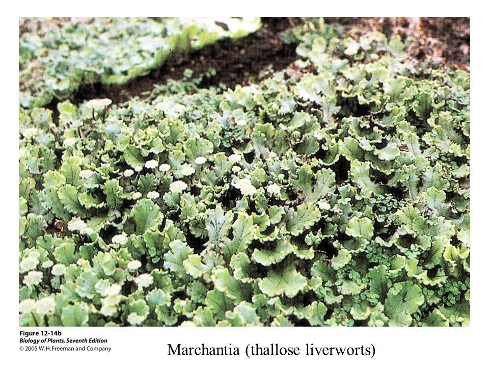 Marchantia (thallose liverworts)