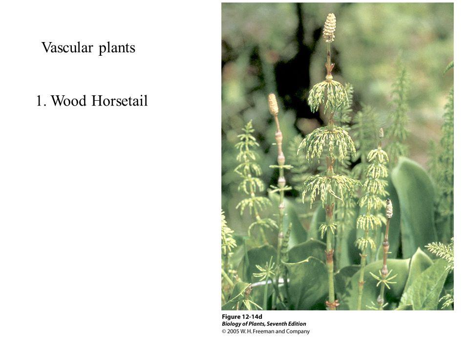 1. Wood Horsetail Vascular plants