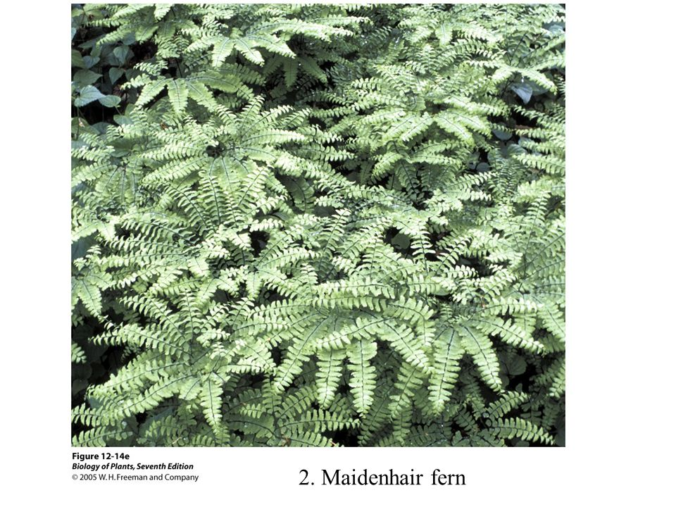 2. Maidenhair fern