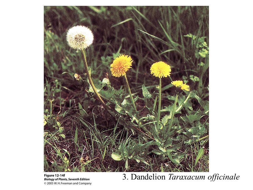 3. Dandelion Taraxacum officinale