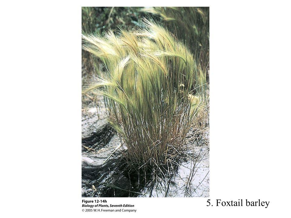 5. Foxtail barley