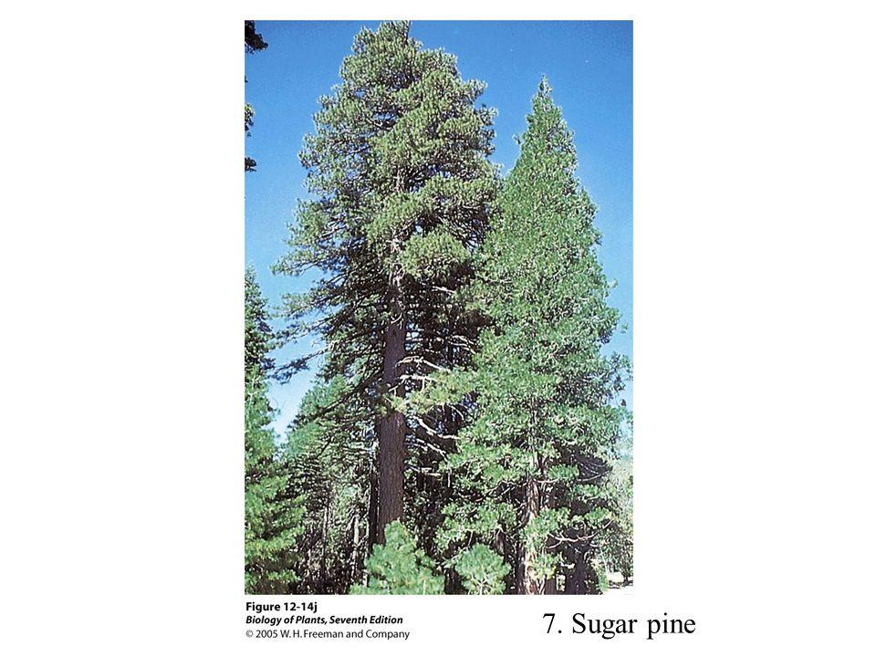 7. Sugar pine