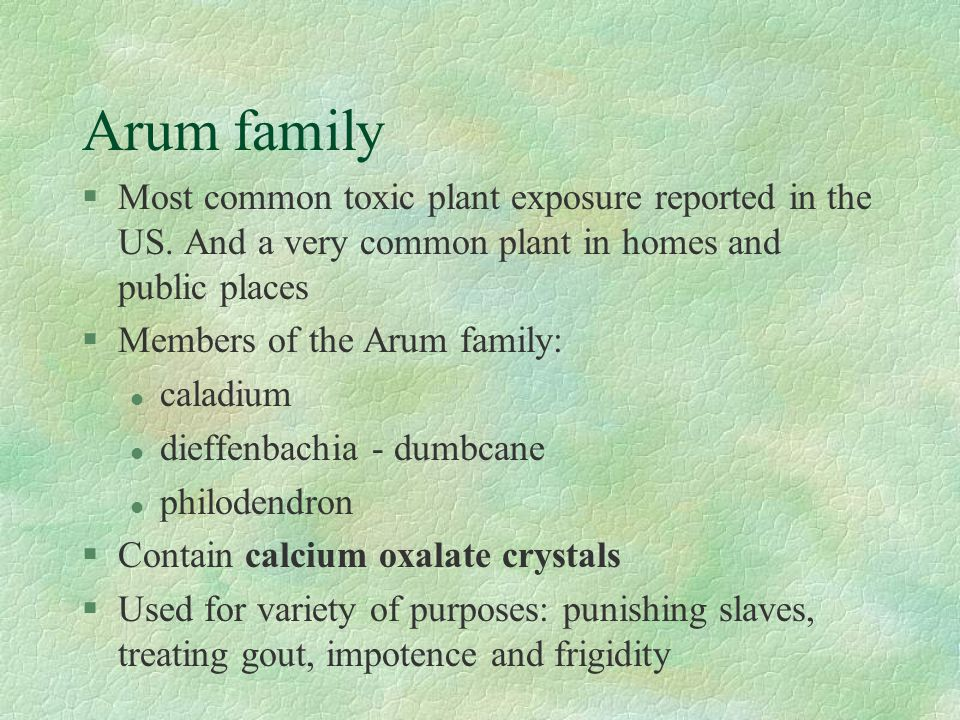 Arum family §Most common toxic plant exposure reported in the US. And a very common plant in homes and public places §Members of the Arum family: l ca