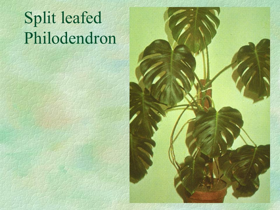 Split leafed Philodendron